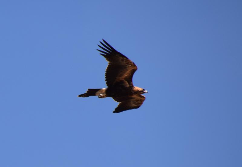 Eagle 26
